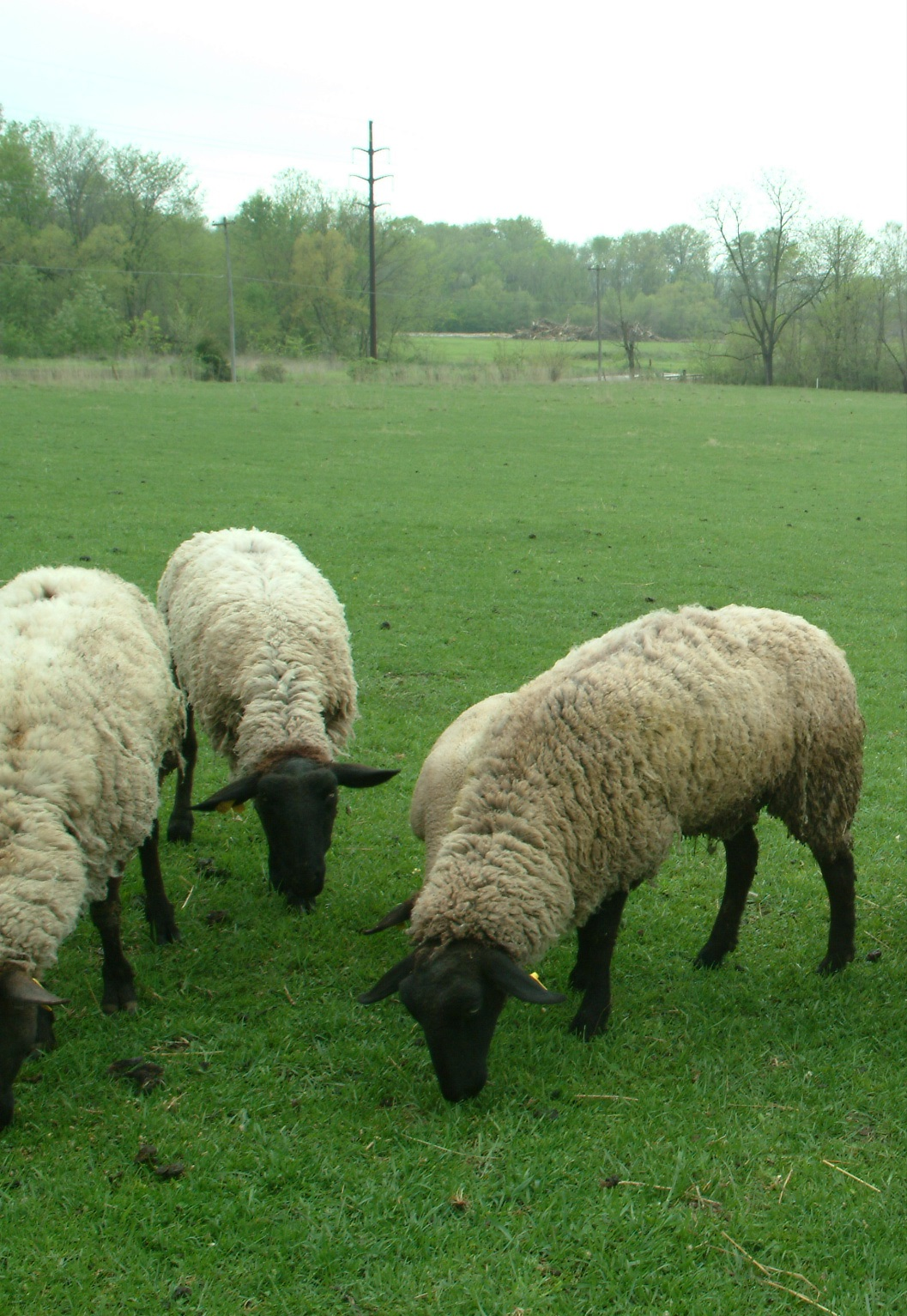 Sheeps-In-Pasture